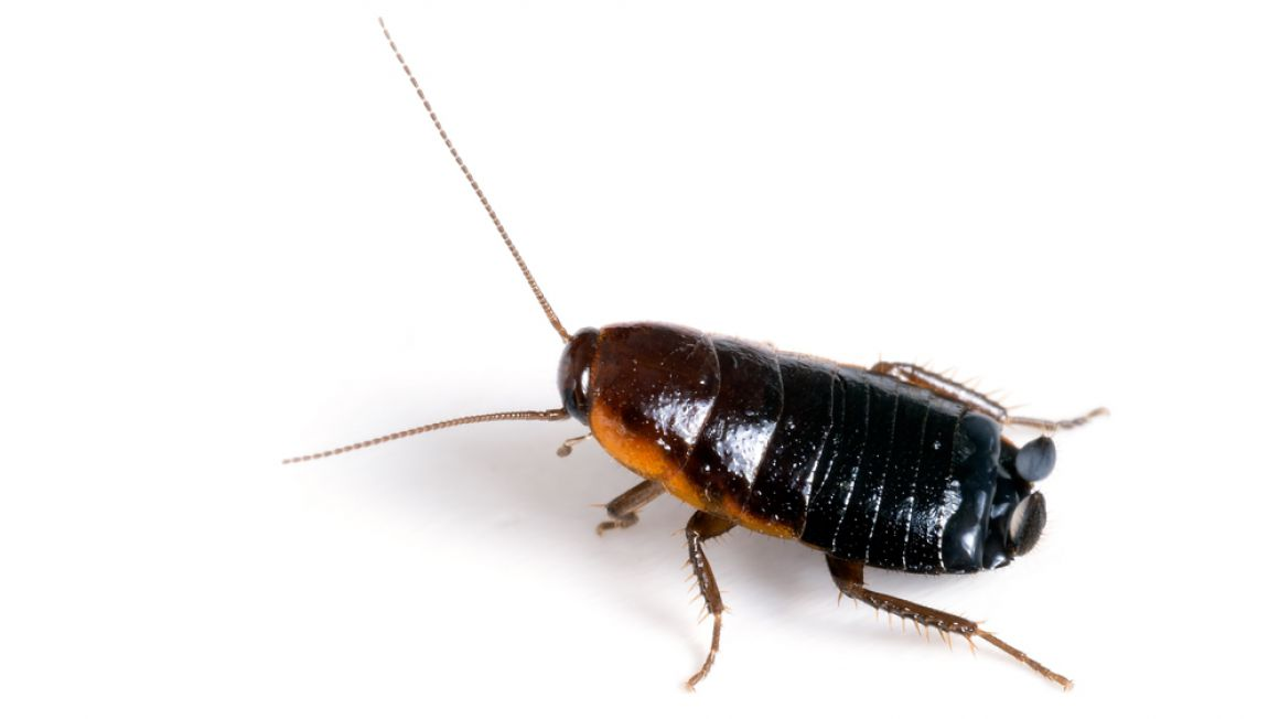 Schaben Kakerlaken Biotec Klute Gmbh