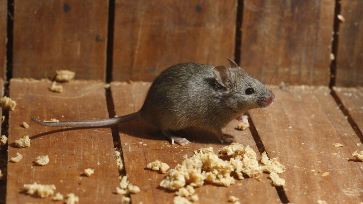 Ratten Mäuse Biotec Klute Gmbh